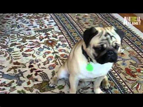 puppies vs babies puppies vs babies confused pugs pug
