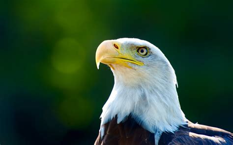bald eagle hd wallpapers american eagle hd pictures hd