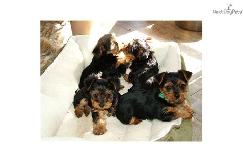 fluffy yorkie puppy meet fluffy a terrier yorkie puppy for sale for 1 000 akc