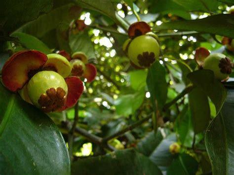 Tanaman Manggis Pohon Manggis 085894576246 manggis ciri ciri tanaman serta khasiat dan manfaat manggis situs tanaman obat indonesia