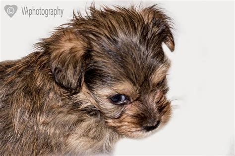 lhasa apso x yorkie puppies for sale yorkie x lhasa apso puppies for sale basingstoke hshire pets4homes