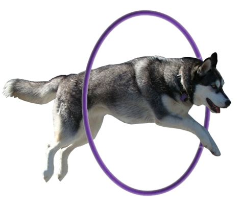 Thru Search Dogs Jumping Through Hoops Image Search Results