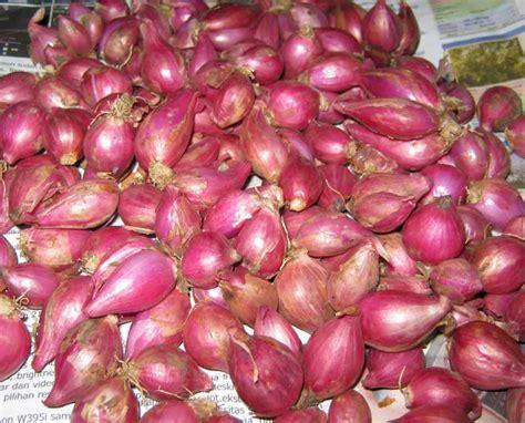 Bibit Bawang Merah cara memilih bibit bawang merah pertanian