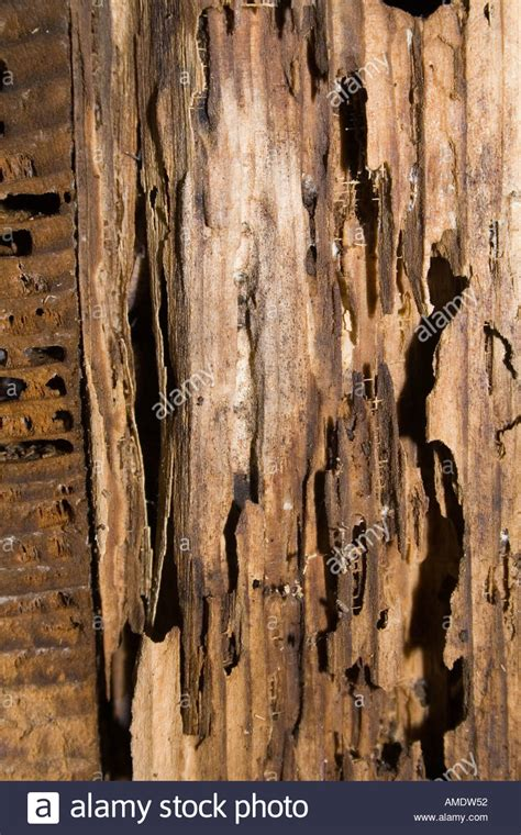 buying a house with dry rot rotten wood with wet rot fungal growth and insect damage uk stock photo royalty free image