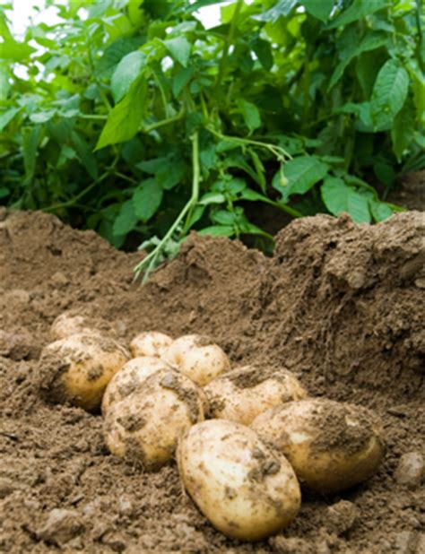 Backyard Potatoes by Bulletin 2077 Growing Potatoes In The Home Garden Cooperative Extension Publications