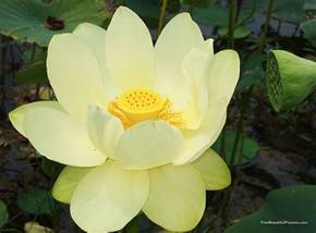Picture Of Lotus Flower Flower Picture Lotus Flower 7
