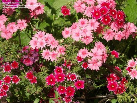 plantfiles pictures annual phlox twinkle star mix