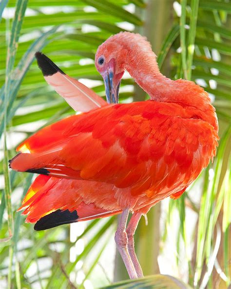 Piyama Gw Pink Bird national aquarium scarlet ibis