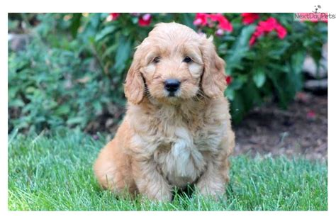 goldendoodle puppies near me goldendoodle puppy for sale near lancaster pennsylvania 5f7c7d36 f981