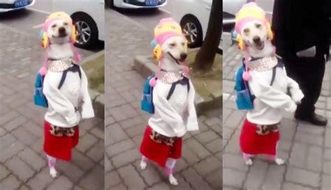 Baju Anjing Kucing Dengan Tas astaga anjing ini memakai baju perempuan dan berjalan