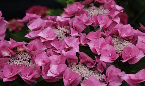 Hortensie Schneiden Wann 5681 hortensie schneiden wann eichenbl ttrige hortensie