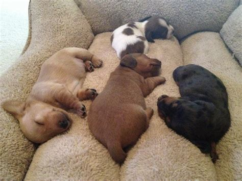 dogs in bed 32 cute sleeping puppies 32 pics i love funny animal