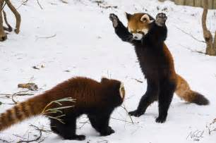 Nepal Rugs Usually Solitary Red Panda Cubs Amaze Zoo Crowd With