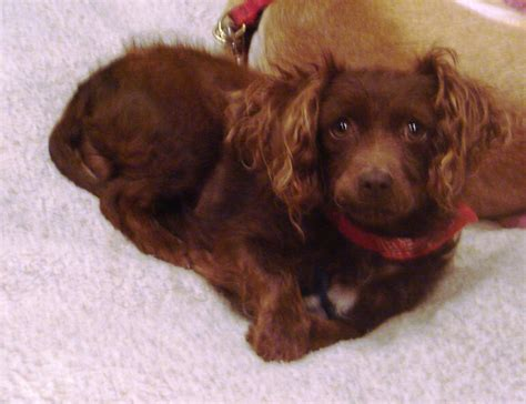 dachshund puppies for sale in st louis dachshund puppies for sale cheap breeds picture