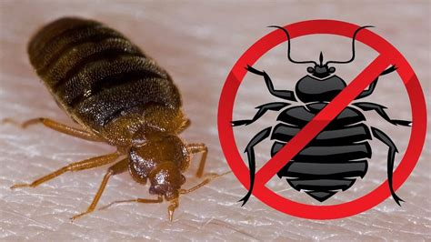 kill bed bugs fast how to kill bed bugs how to get rid of bed bugs fast and