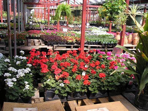 bedding plants stringer nursery at the nursery