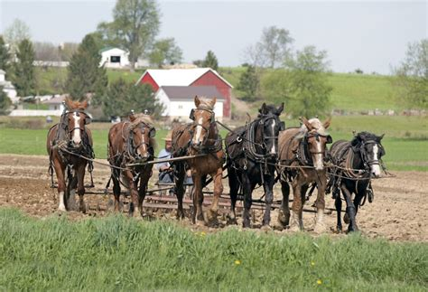 amish plowing with a seven hitch amish plowing with 6 work horses working horses mules