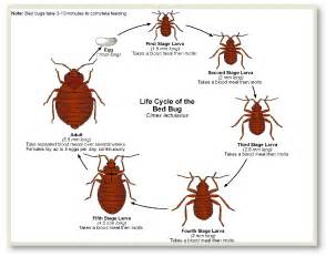 how fast do bed bugs grow bed bugs call the philadelphia pa bed bug exterminator