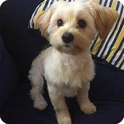 yorkie havanese east hartford ct havanese yorkie terrier mix meet phoebe a for