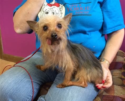 yorkie rescue pittsburgh baby doll s web page