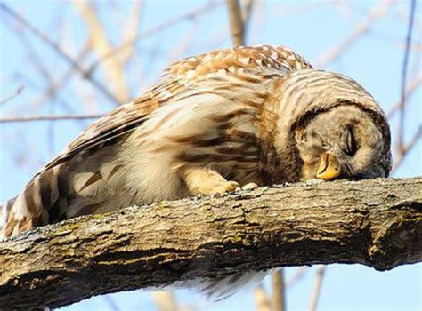Sleepy Owl how owls sleep sleep and owl