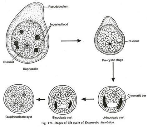 Entamoeba Histolytica Diagram