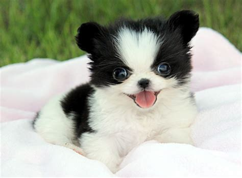 royal teacup puppies chihuahua 3 500 1 from royal teacup puppies in houston tx 77049