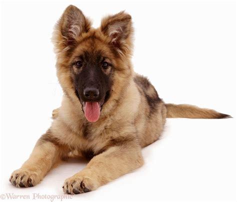 alsatian puppy alsatian puppy puppies puppy