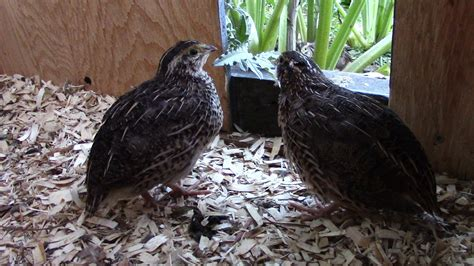 raising quail for meat with organic feed and meal worms