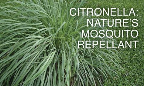 Citronella Sale Keeping Bugs At Bay The Way The