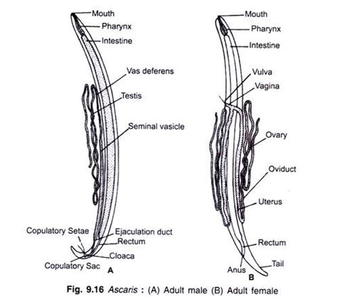 labelled diagram of ascaris reproductive system and cycle in ascaris with diagram