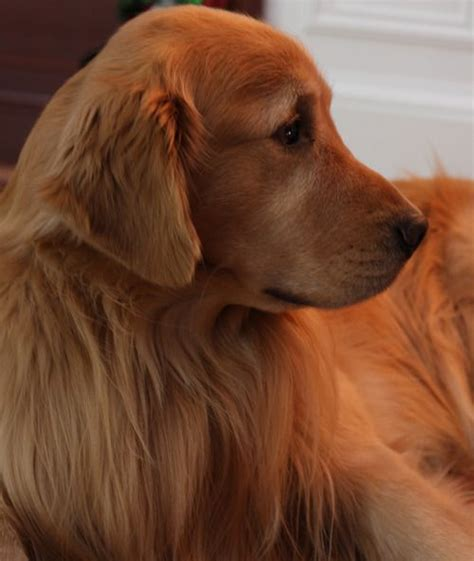 golden retriever shades 25 best ideas about golden retrievers on wwwface book golden