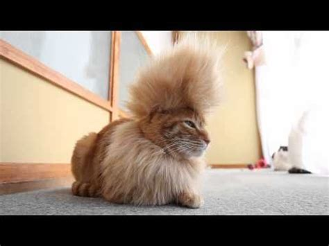 how to get a and cat to get along mohawk cat from the coolest one