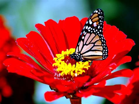 butterfly on a flower wallpapers