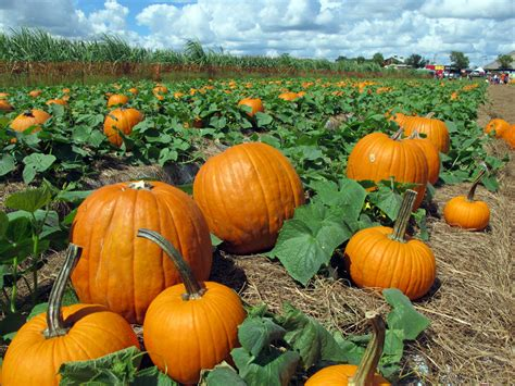 pictures of pumpkins pumpkin picking in florida quinoa pumpkin risotto and