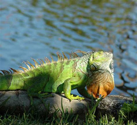 imagenes de iguanas rojas fotos de iguanas im 225 genes de iguanas