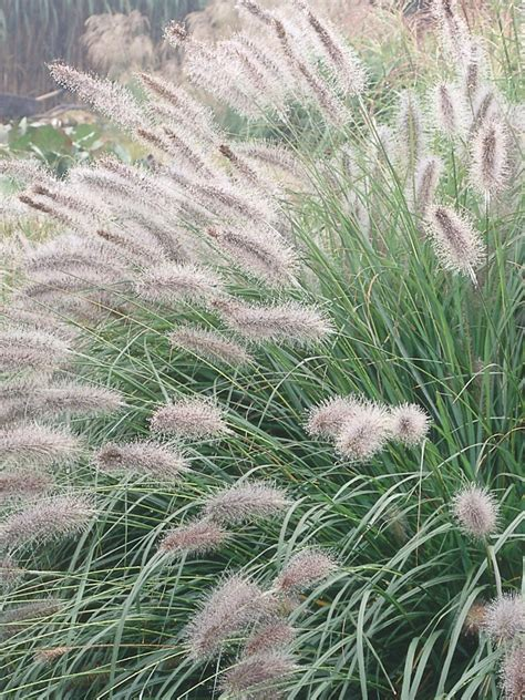 how to landscape with ornamental grasses hgtv