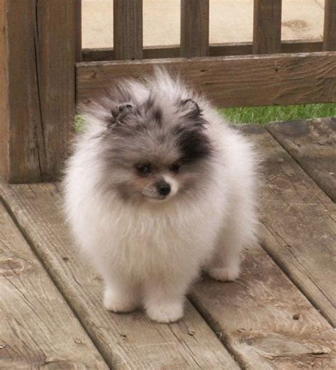 lifespan of a pomeranian dogs and cats top 5 living breeds