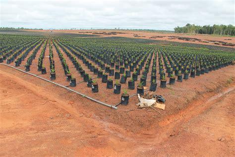 Bibit Sawit teknik menanam kelapa sawit archives budidaya kelapa sawit