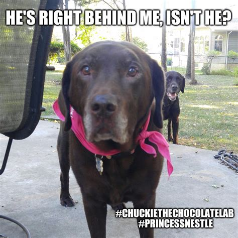 Chocolate Lab Meme - he s right behind me isn t he imgflip
