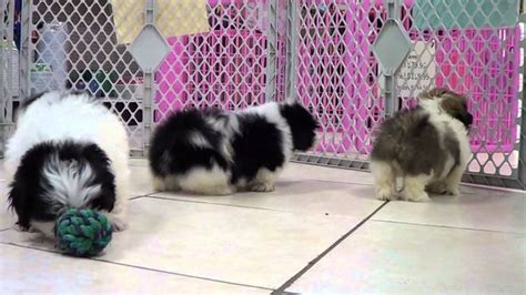 shih tzu columbia sc shih tzu puppies for sale in columbia south carolina sc rock hill greer