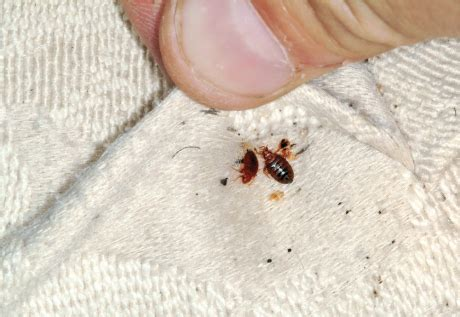 do bed bugs travel survey bed bugs are the last thing travelers want to see