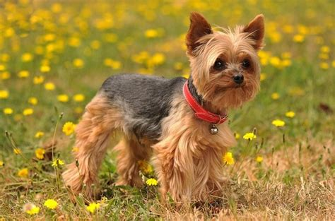 how does a yorkie stay small with big personality thehappypooch
