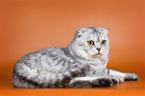 Scottish Fold Cat Info, Personality, Kittens, Pictures
