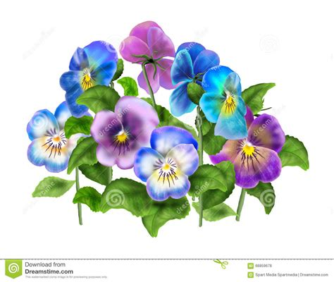 violet colored pansy viola flower isolated on white stock photo