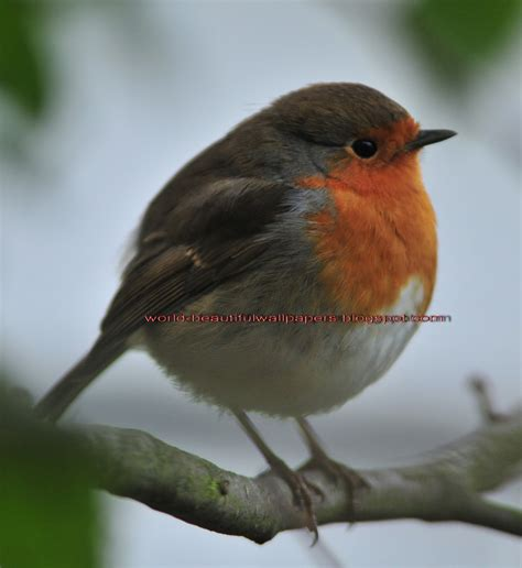 beautiful wallpapers robin bird wallpaper