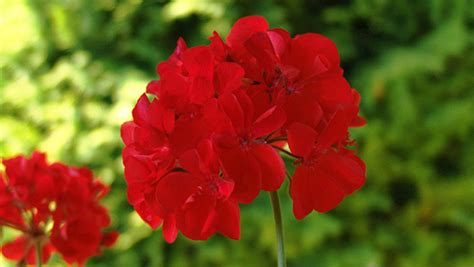 geranio fiore malattie piante piante in forma