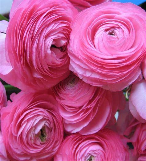 Online Catalogs Home Decor by Nurturing Green Ranunculus Perennial Flower Bulbs Pink By