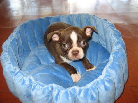 boston terrier puppies ky boston terrier puppies for sale ky