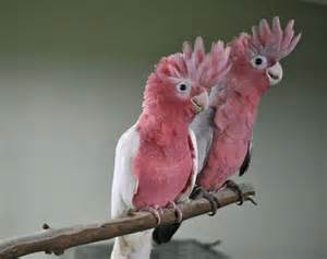 rose breasted cockatoo galah facts care as pets